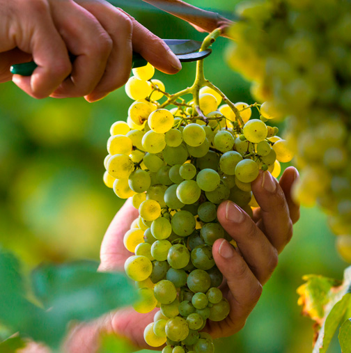 Racimo uva albariño