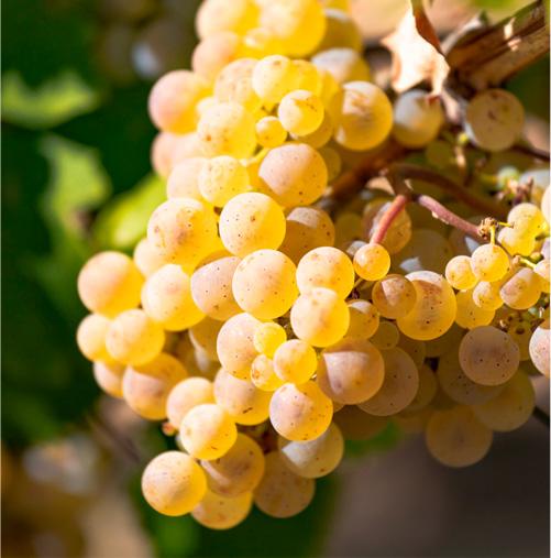racimo uva Godello